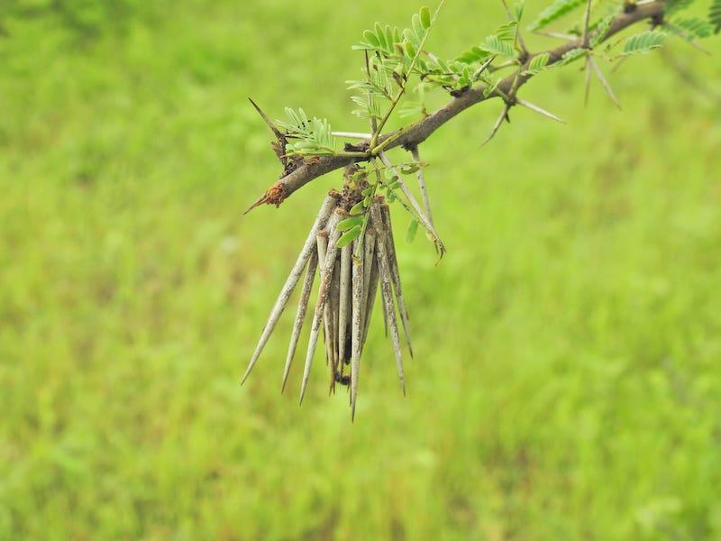 १८ मोळी किडा.JPG