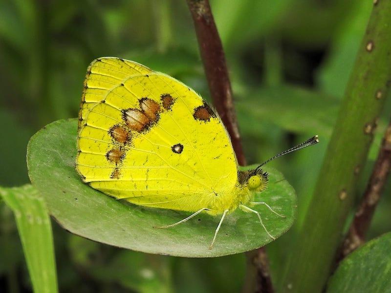 ४फुलपाखरु.jpg