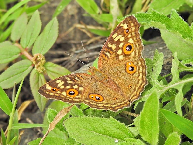 ७ फुलपाखरु.jpg