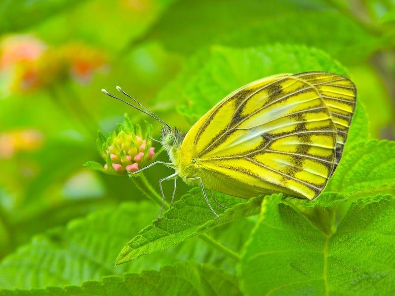 ७फुलपाखरू.JPG