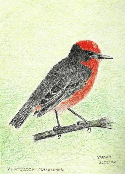 26122011 Vermillion flycatcher_reduced 90k.jpg