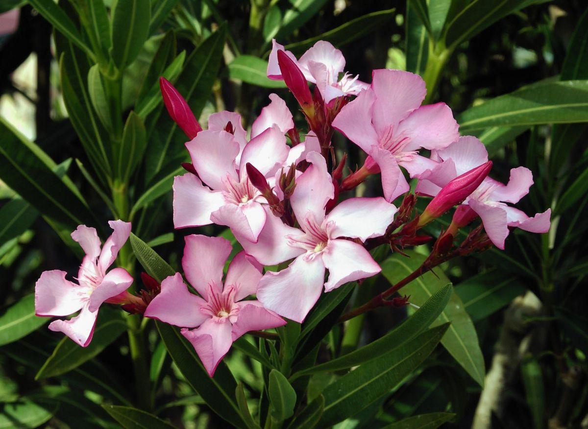 Nerium_oleander_flowers_leaves-low.jpg