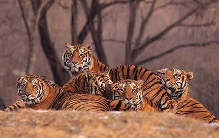 tigers.jpeg