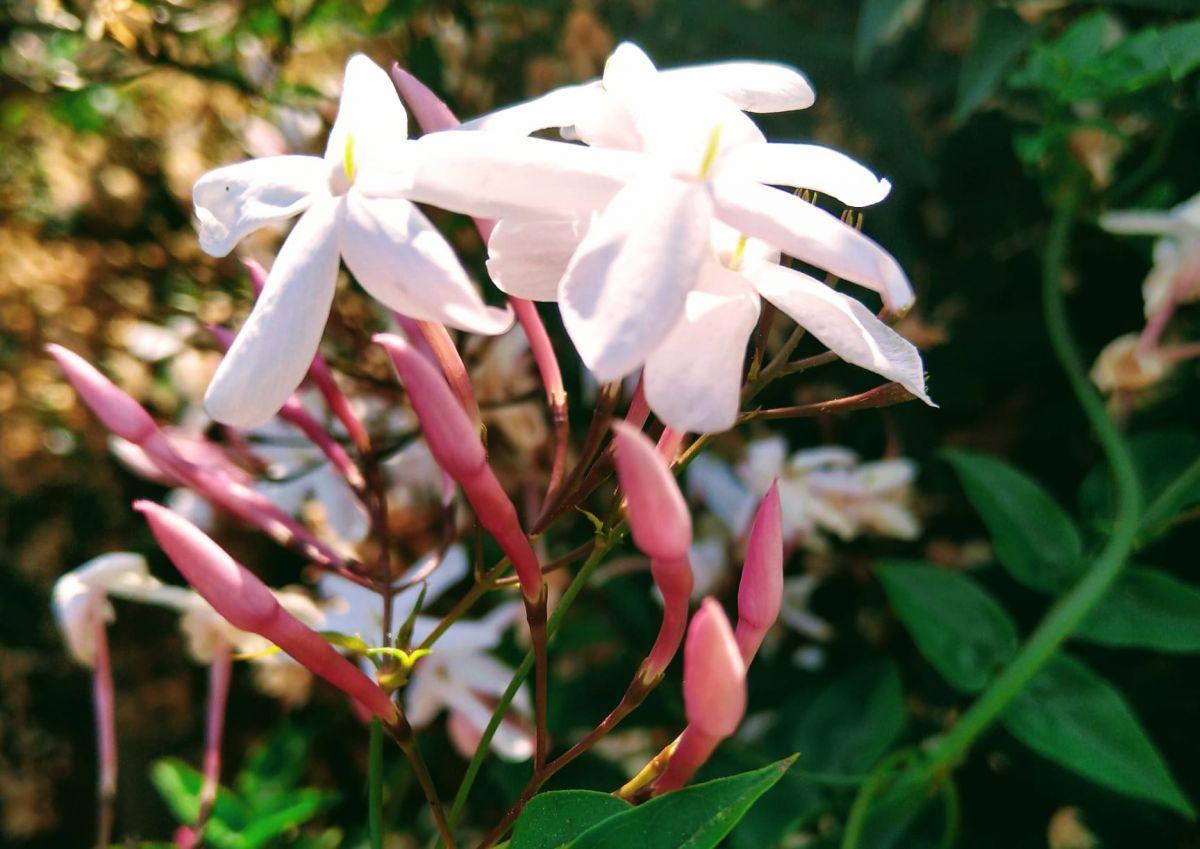 Pink_Jasmine2.jpg
