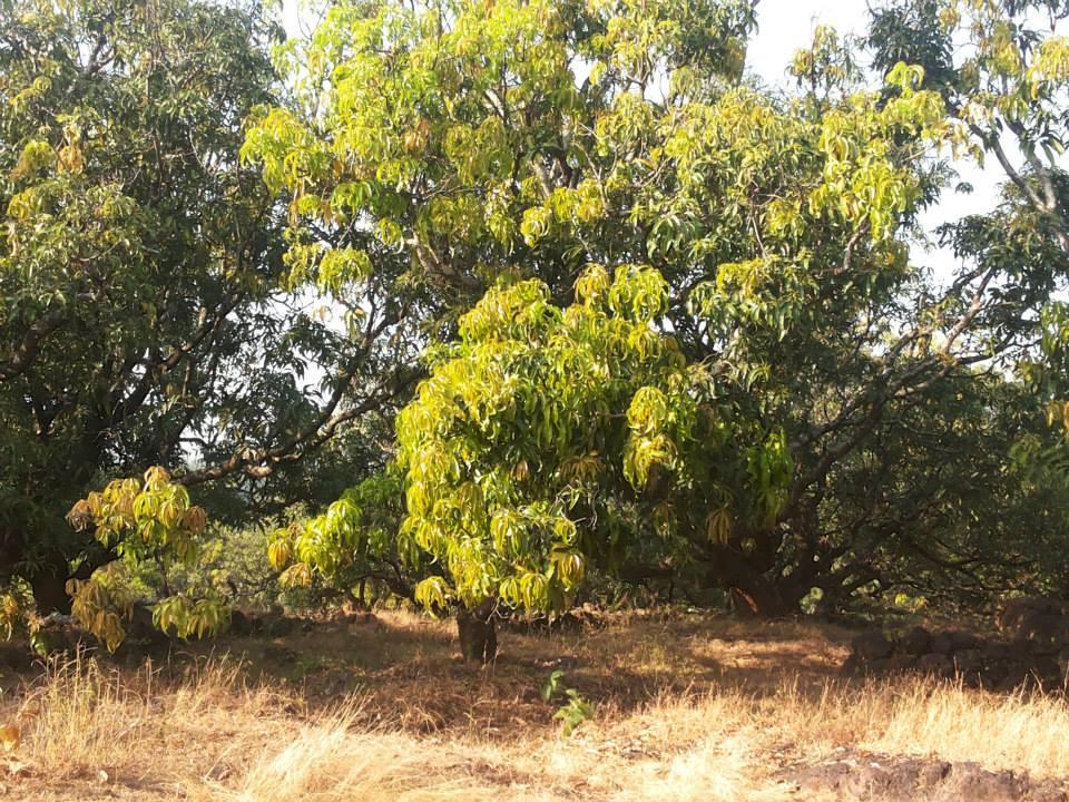 आंब्याची बाग.jpg