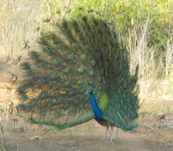 Peacocka.jpg