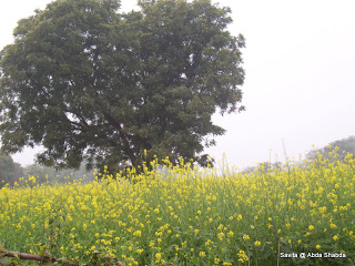 Mustard Rajsthan 7 January 12 .jpg
