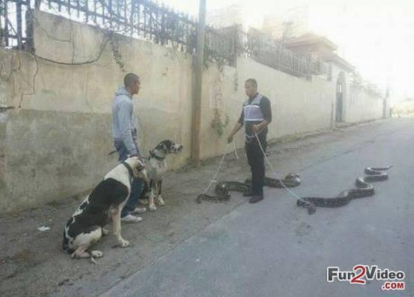 pet-snakes-morning-walk.jpg