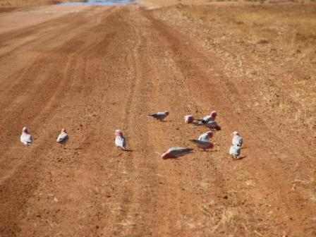 AustrliaBirds_Galah_flock.jpg