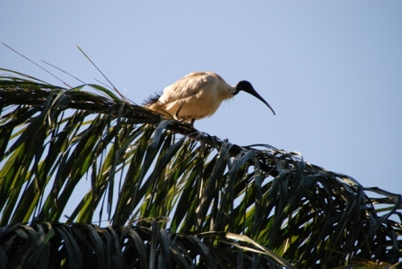 AustrliaBirds_Ibis.JPG