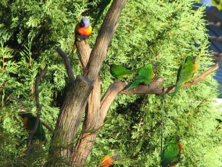 AustrliaBirds_Lorikeet.JPG