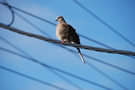 AustrliaBirds_Mourning Dove.jpg