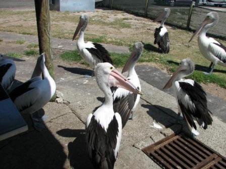AustrliaBirds_Pelicans.jpg
