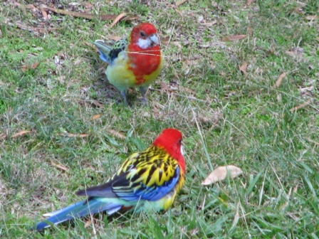 AustrliaBirds_Rosella.jpg