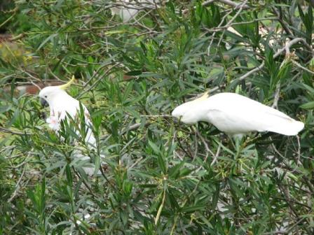 AustrliaBirds_Sulphur Crested Cockatoo.jpg