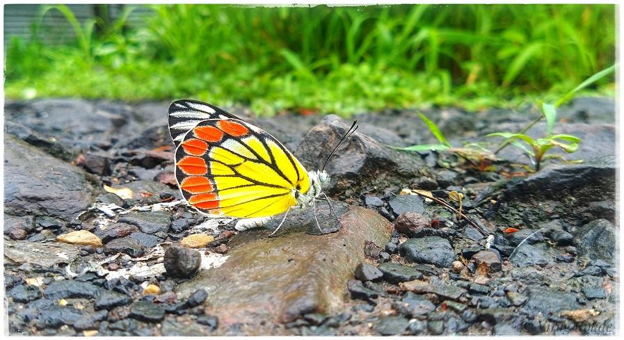 Butterfly - 1.jpeg