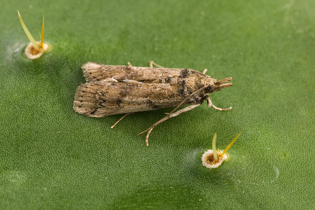 CC Moth.jpg