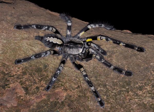 Tarantula adult.jpg