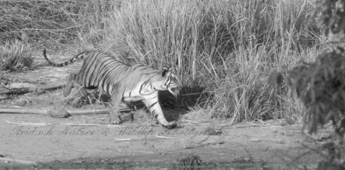 tigress approaching nullah bw.jpg