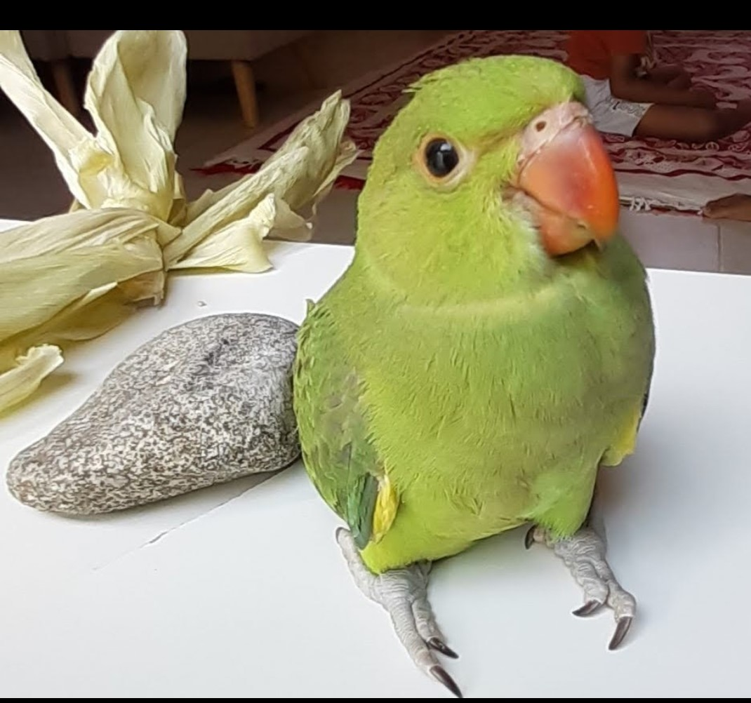 पोपू-1.jpg