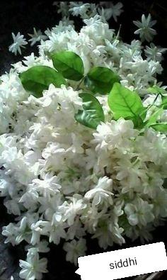 मोगरा फुलावा.jpg