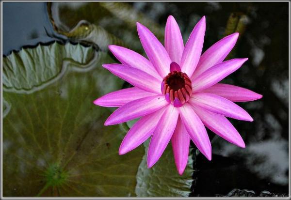 Lotus_himachalmb.jpg