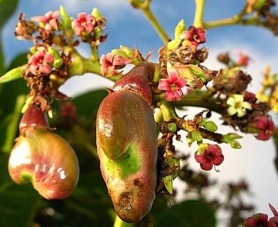 young cashew nut_1.jpg