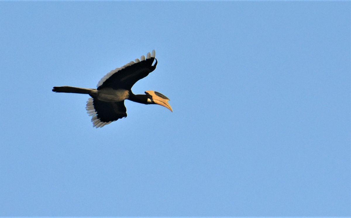 Hornbill 1 edited.jpg