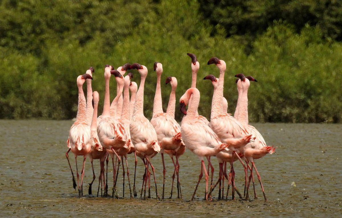 1920px-Lesser_Flamingo_Phoeniconaias_minor_Courtship_Dance_by_Dr._Raju_Kasambe_DSCN0567_(10).jpg