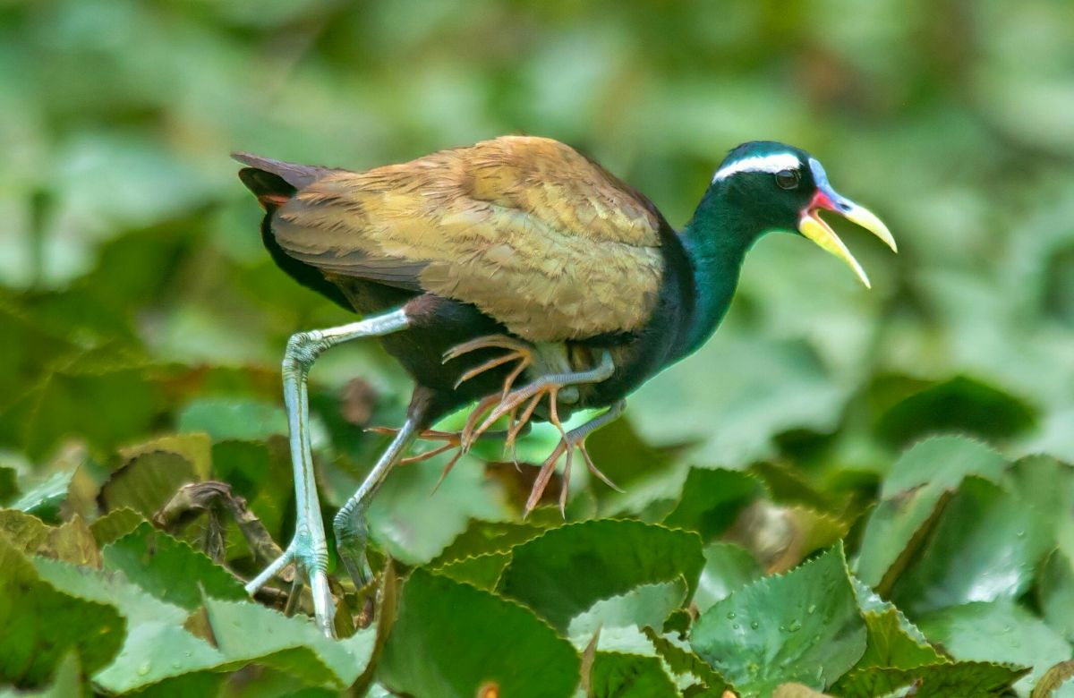 Bronze-winged Jacana with babies by Vedant (2).JPG