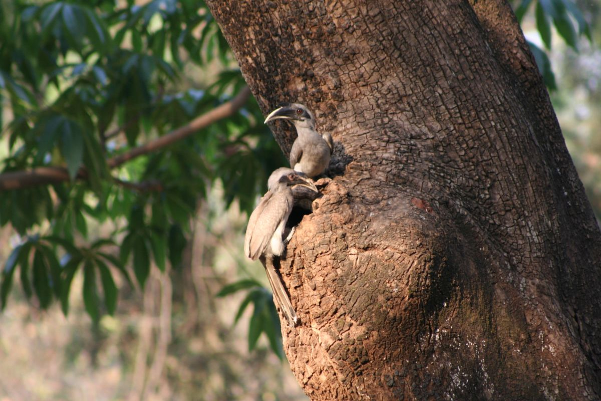 Hornbill pair inspecting a prospective cavity for nesting by Dr. Raju Kasambe.jpg