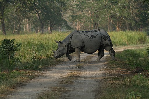 Indian_Rhinoceros_Rhinoceros_unicornis_by_Dr._Raju_Kasambe_IMG_0511_(10).JPG