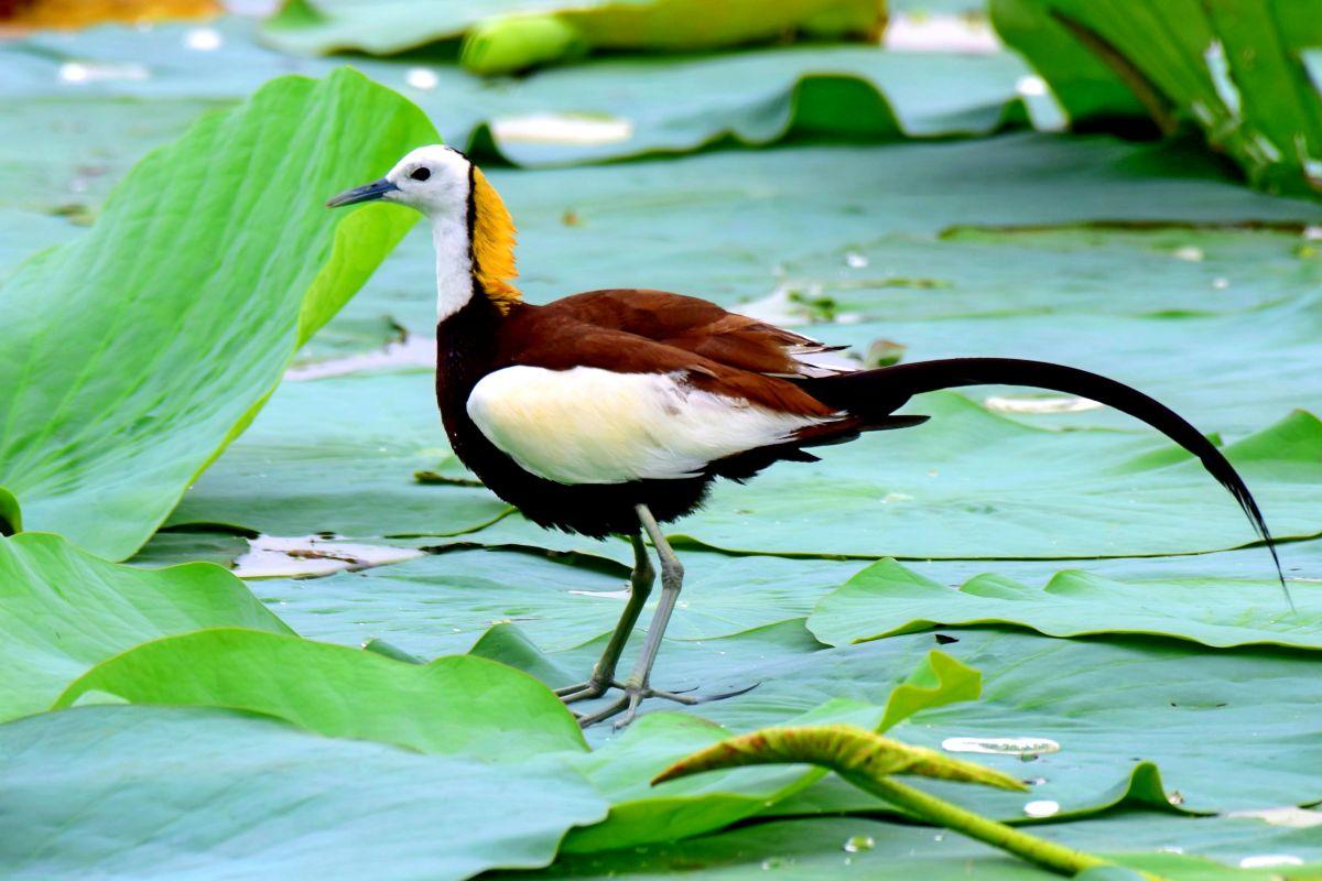 Pheasant_tailed_jacana_2016.jpg