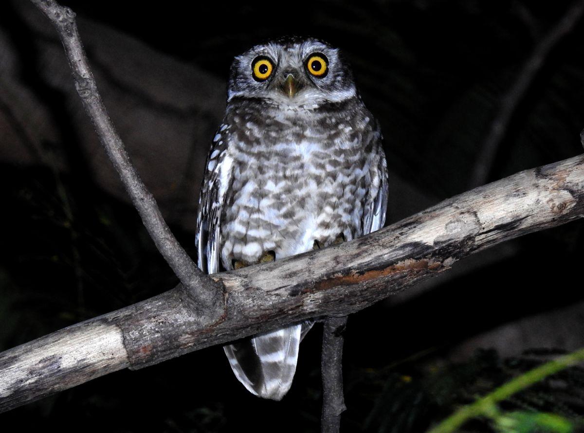Spotted Owlet Pench DSCN9209 (9).JPG
