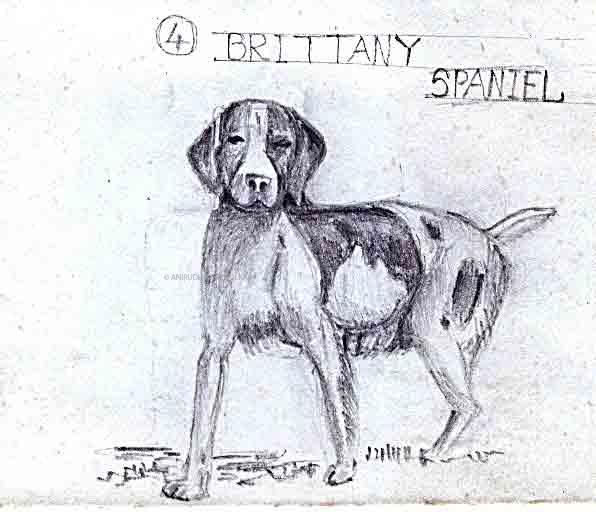 Brittany-Spanial.jpg
