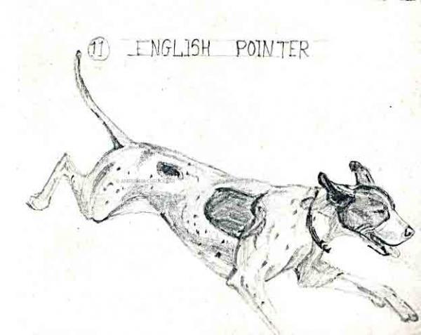 English-pointer.jpg