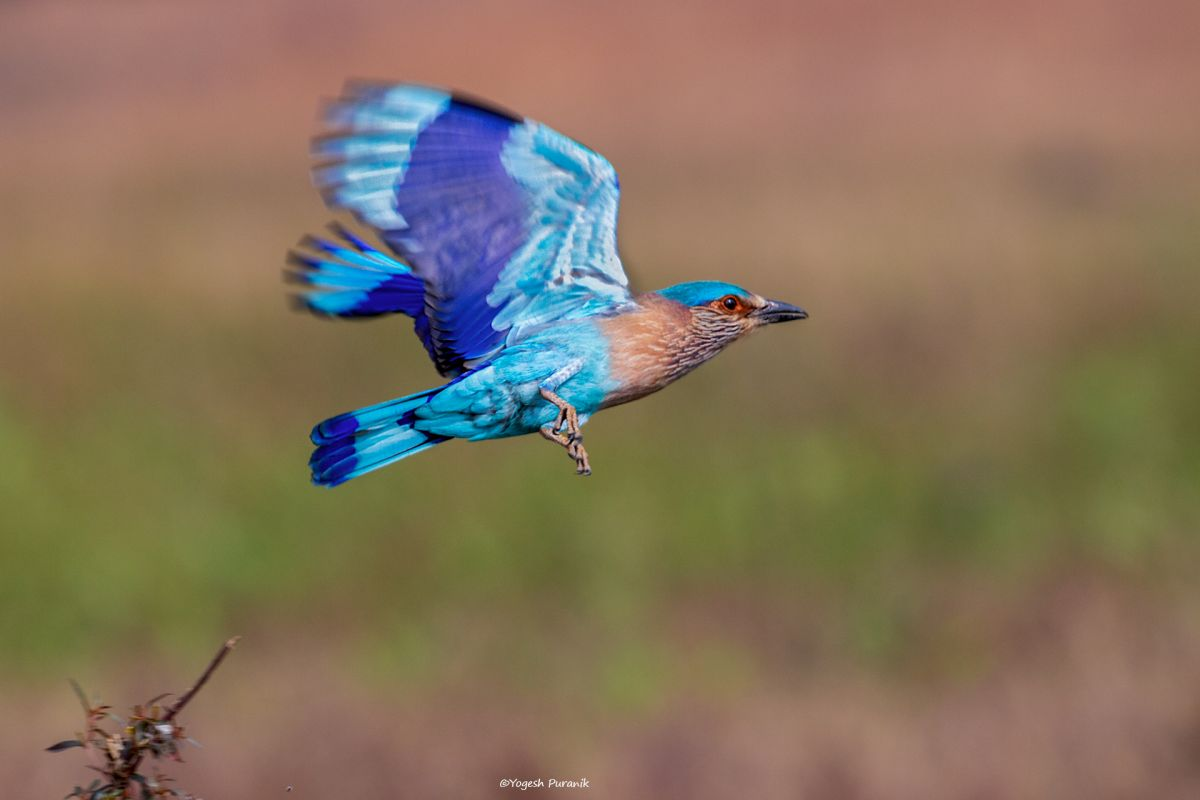 IMG_0686 Indian roller in flight red.jpg