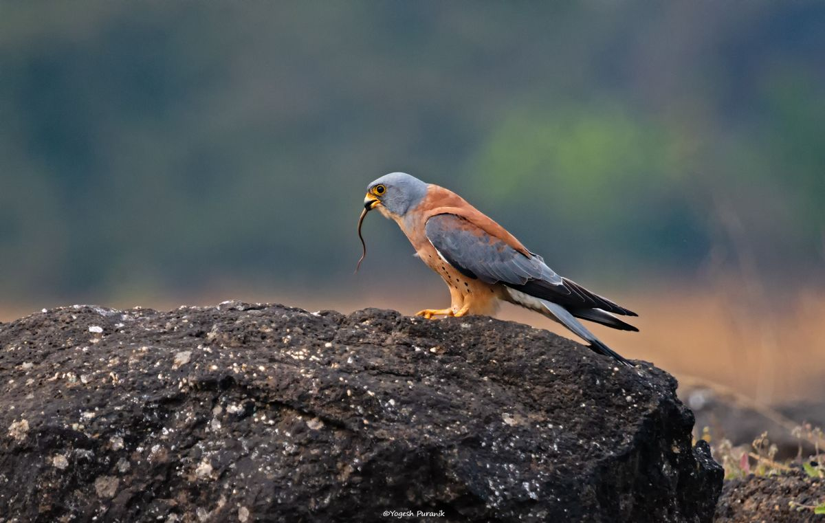 IMG_0945 Lesser Kestrel Male with Kill Red-Edit.jpg